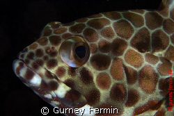 Resting and and ready for some portrait shot.  A grouper ... by Gurney Fermin 